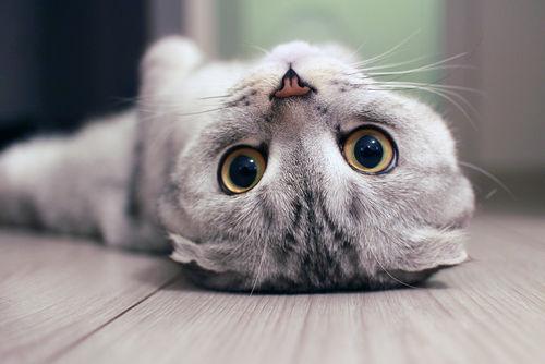 イカを食べると腰を抜かすと言われる猫