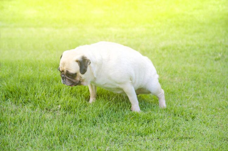【獣医師監修】犬のおしっこ(尿)の回数が多い、頻尿。この症状から考えられる原因や病気は?