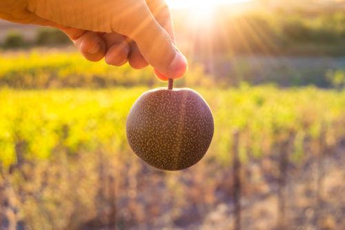 愛犬に与える梨の栄養素や期待される効果は?
