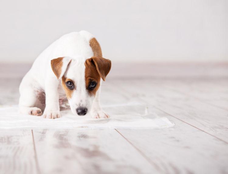 犬のおしっこ(尿)が茶色い・血尿を出した【考えられる原因】