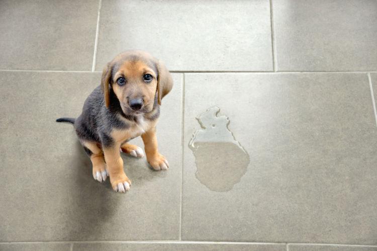 【獣医師監修】犬が尿漏れする、失禁する。この症状から考えられる原因や病気は?