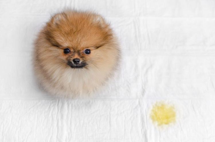 犬のホルモン反応性尿失禁(原発性括約筋異常)