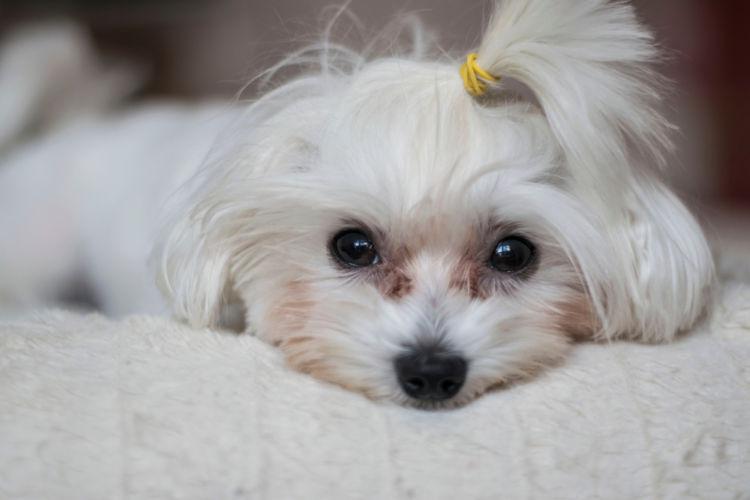 【獣医師監修】犬の目が涙焼け(涙やけ)になっている。この症状から考えられる原因や病気は?