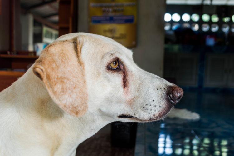 犬の目が涙焼け(涙やけ)になっている【考えられる原因】