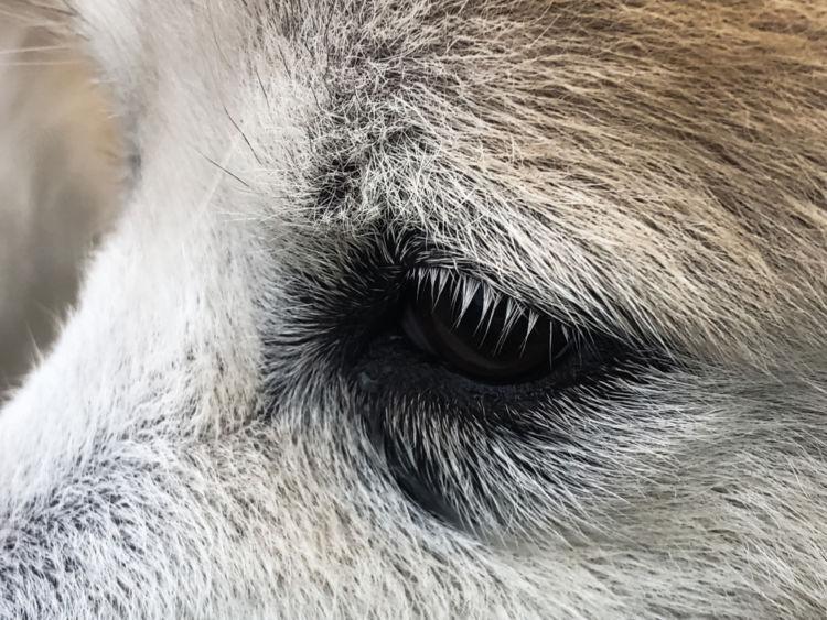 犬の目が涙焼け(涙やけ)になっている【この症状で考えられるおもな病気】
