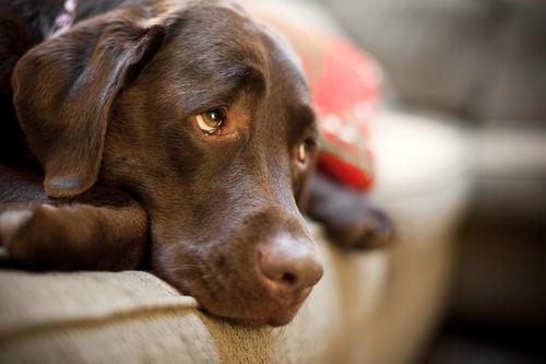 犬がチョコレートを食べると中毒症状で死亡する?