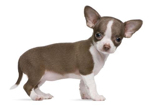 超小型犬(5㎏以下)