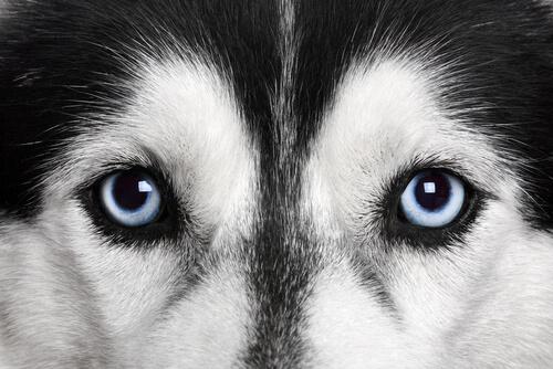 犬の目に入った毛やゴミを、眼球を傷付けず上手に取る方法