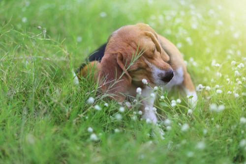 愛犬に与えるパイナップルのアレルギーは大丈夫?