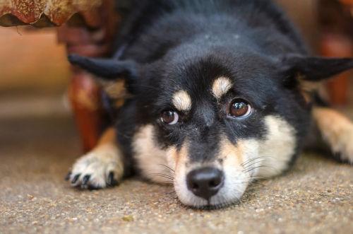 【柴犬】に与える場合、注意が必要な食べ物!