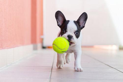 愛犬が大きな食べ物やおもちゃを丸呑みしないように防止しよう!