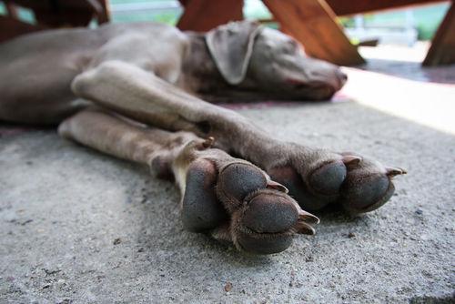 【獣医師監修】犬の足が震える・痙攣する。この症状から考えられる原因や病気は?