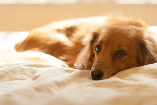 犬の無菌性結節性脂肪織炎(脂肪織炎)