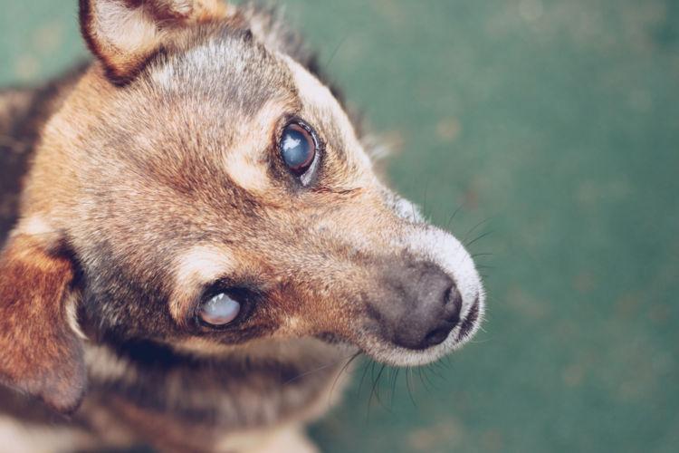 【獣医師監修】犬の目が見えない。この症状から考えられる原因や病気は?