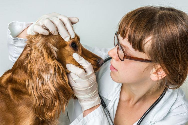 【獣医師監修】犬の目に傷がある。この症状から考えられる原因や病気は?