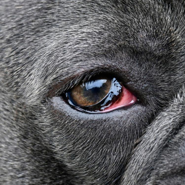 犬の目が赤い・充血している【こんな症状は要注意!】