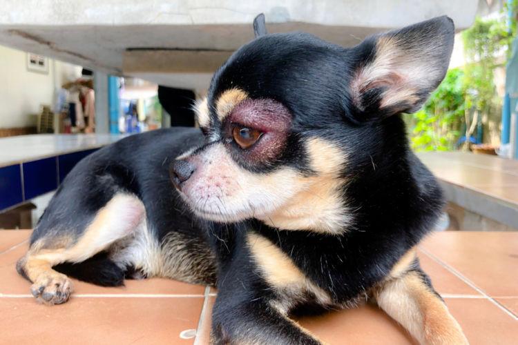 【獣医師監修】犬の目やまぶたが腫れている。この症状から考えられる原因や病気は?