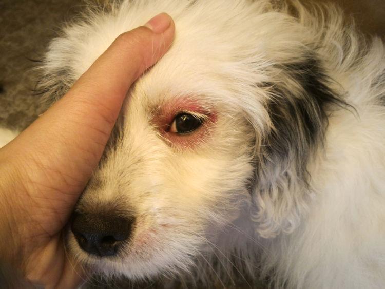 犬の目やまぶたが腫れている【こんな症状は要注意!】