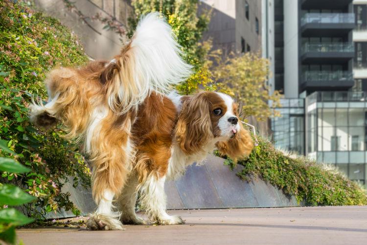 【獣医師監修】犬の尿が出ない。この症状から考えられる原因や病気は?