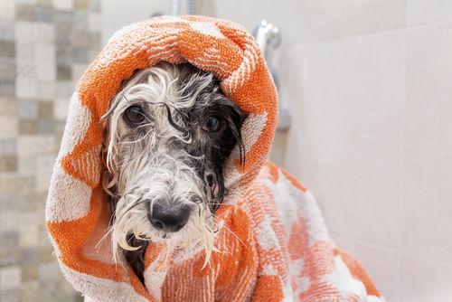 犬をタオルで拭く