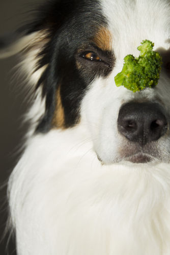 愛犬に与えるブロッコリーの適量は?
