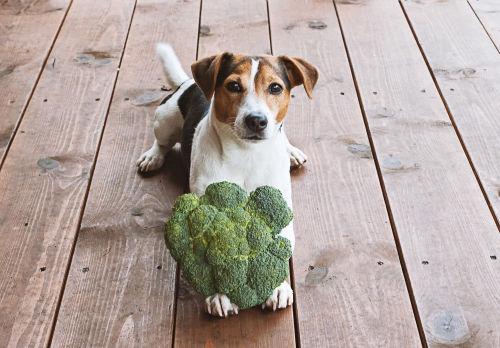 愛犬に与える「ブロッコリー」のまとめ
