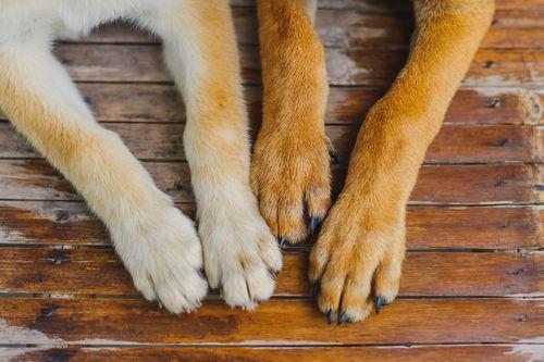 【獣医師監修】犬の足の爪から血が出ている。この症状から考えられる原因や病気は?