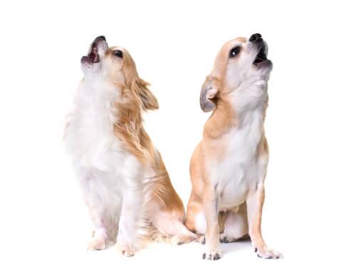 なぜ犬は救急車のサイレンに反応するのか?先祖から受け継いだ遠ぼえの意味