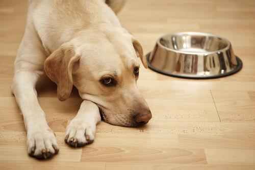 食欲がおちている犬