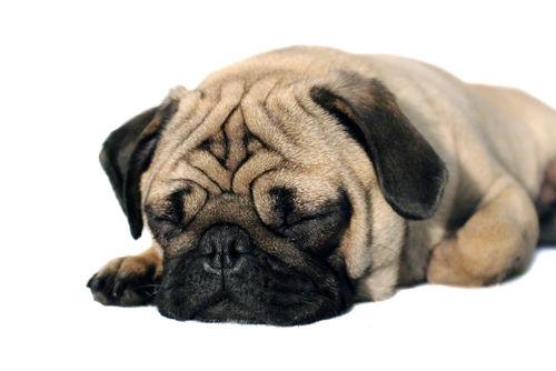 愛犬に与えるしいたけの適量は?食べ過ぎによる下痢などに注意!