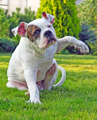 よくある誤解その2:犬に牛乳を与えると【アレルギー】になる可能性がある?