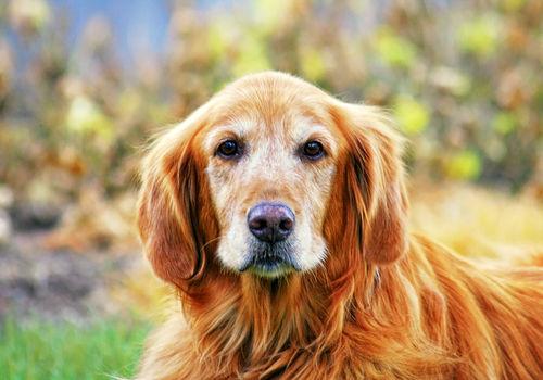 高齢になった犬