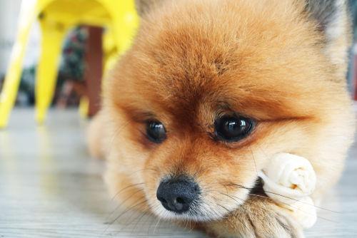 【獣医師監修】犬用ガムの選び方とポイント!与え方と誤飲や丸呑みした場合の対処法は!?