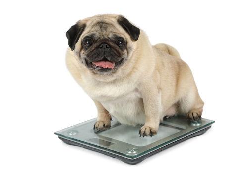お菓子を食べて肥満になった犬