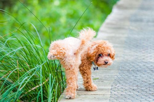 犬のおしっこ(尿)が茶色い・血尿を出した【こんな場合は要注意!】