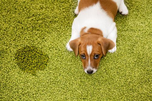【獣医師監修】犬のおしっこ(尿)が茶色い・血尿を出した。この症状から考えられる原因や病気は?