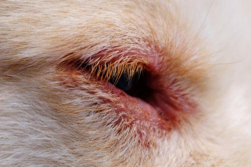 犬の異所性睫毛