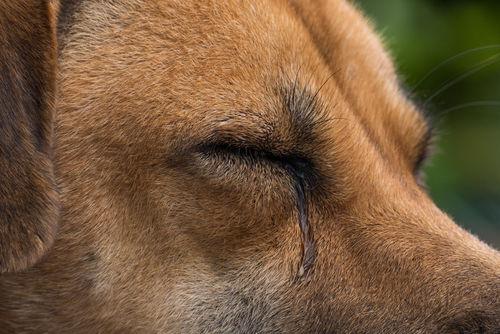 犬の流涙症