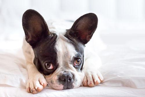 【獣医師監修】フレンチ・ブルドッグの人気の秘密!性格や特徴、飼い方(しつけ)平均寿命は?