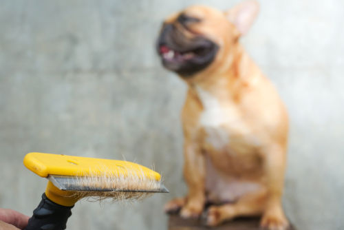 フレンチ・ブルドッグは「室内飼育」が原則!被毛の手入れは?