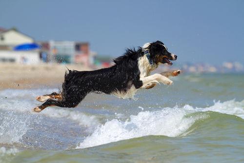 救助犬のオーストラリアン・シェパード