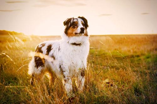 <オーストラリアン・シェパード>歴史やカラダ・性格・特徴【JAHA家庭犬しつけインストラクター監修】
