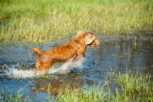 猟犬のイングリッシュコッカースパニエル