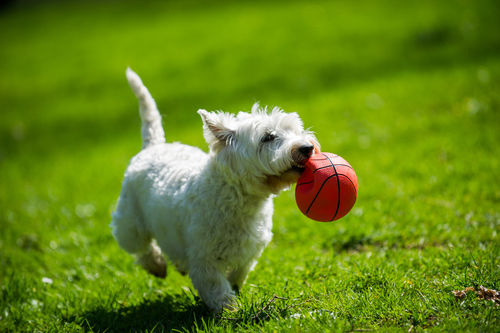 愛玩犬であるウエスト・ハイランド・ホワイト・テリア