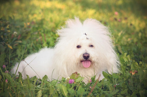 <ボロニーズ>歴史やカラダ・性格などの特徴【JAHA家庭犬しつけインストラクター監修】