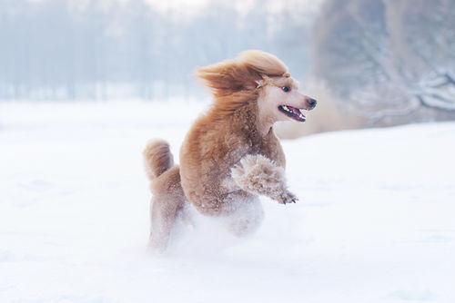 災害救助犬として注目されるスタンダード・プードル