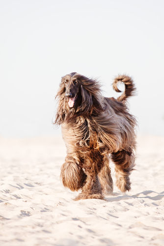 長毛を揺らして歩くアフガン・ハウンド