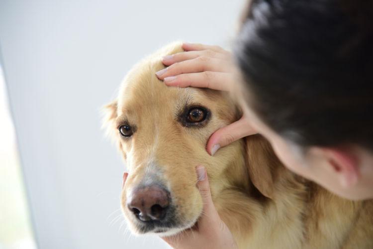 犬のぶどう膜炎 診断方法