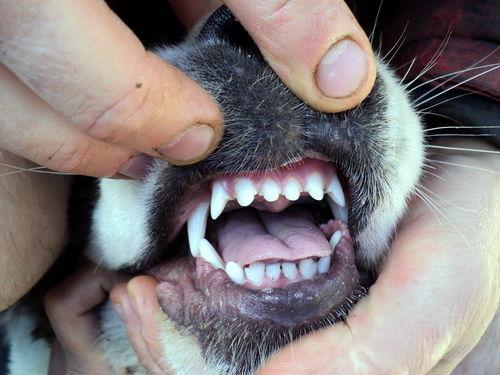 犬の外歯瘻(がいしろう)
