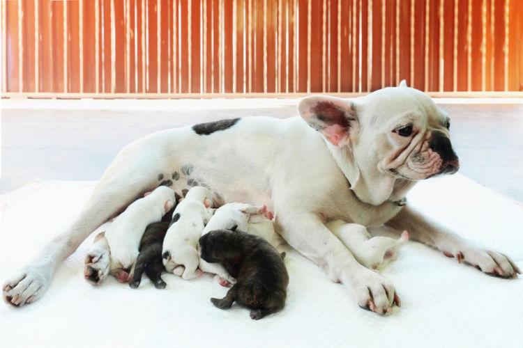 子供を出産して授乳している母犬